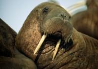 walrus_747_600x450